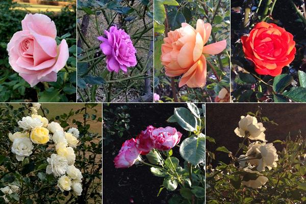 rose141122